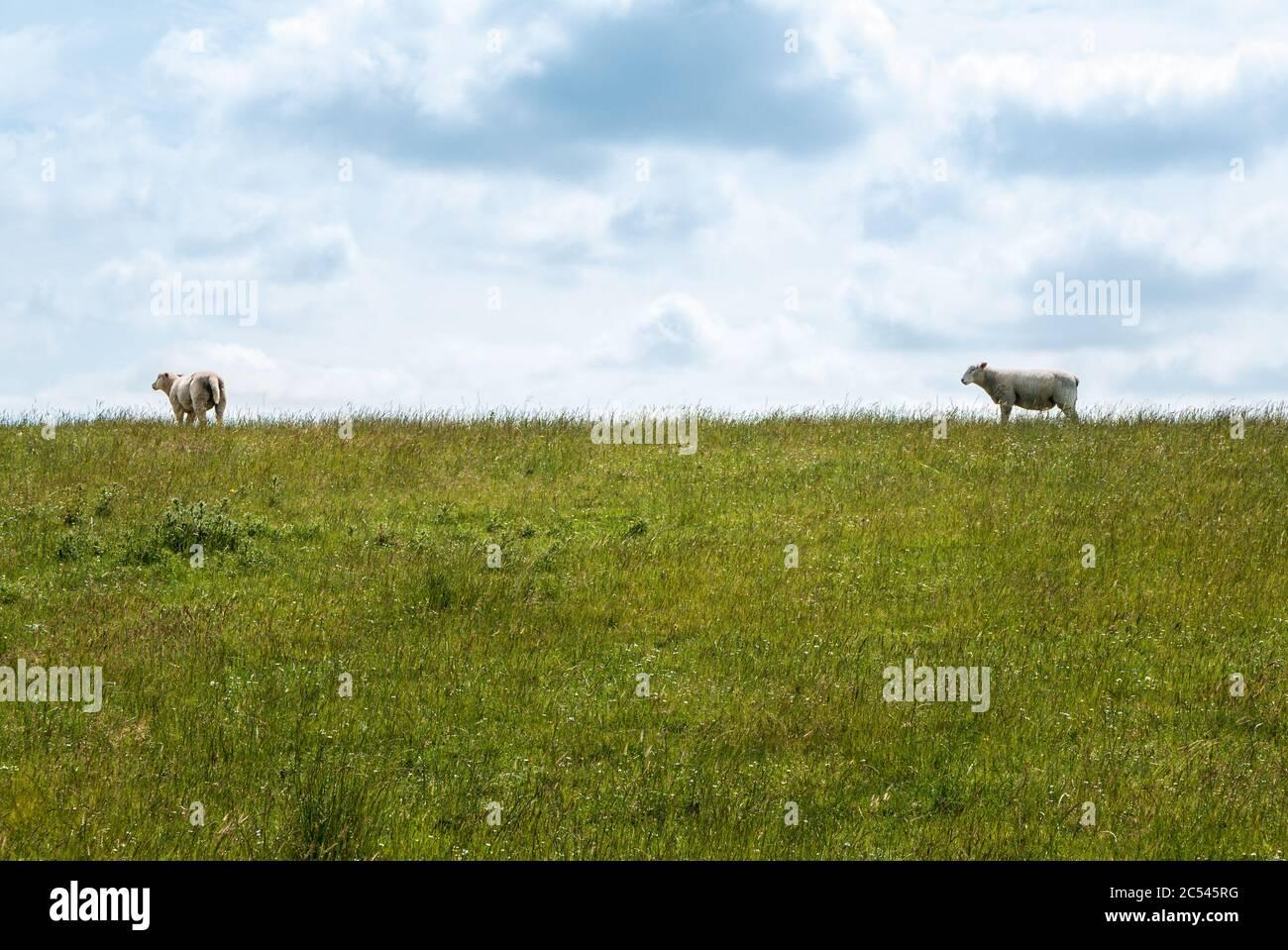 Paisajes de Dyke con prados y ovejas en la costa del Mar del Norte frente al Mar de Wadden, cerca de Dagebüll Foto de stock