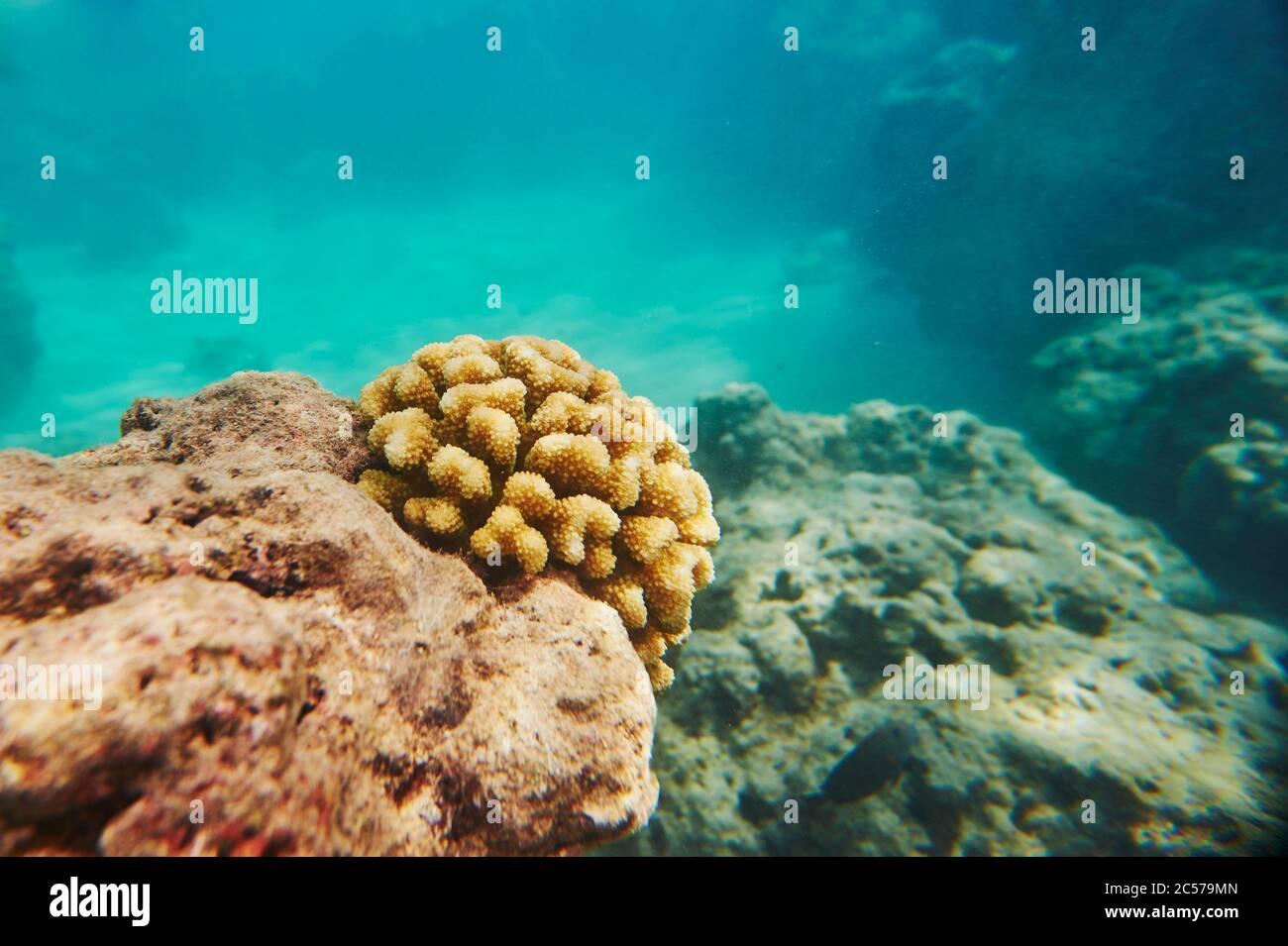 Coloridos arrecifes de coral, Mar de Coral, Bahía Hanauma, Isla Hawaiana de Oahu, Hawai, Estado Aloha, Estados Unidos Foto de stock