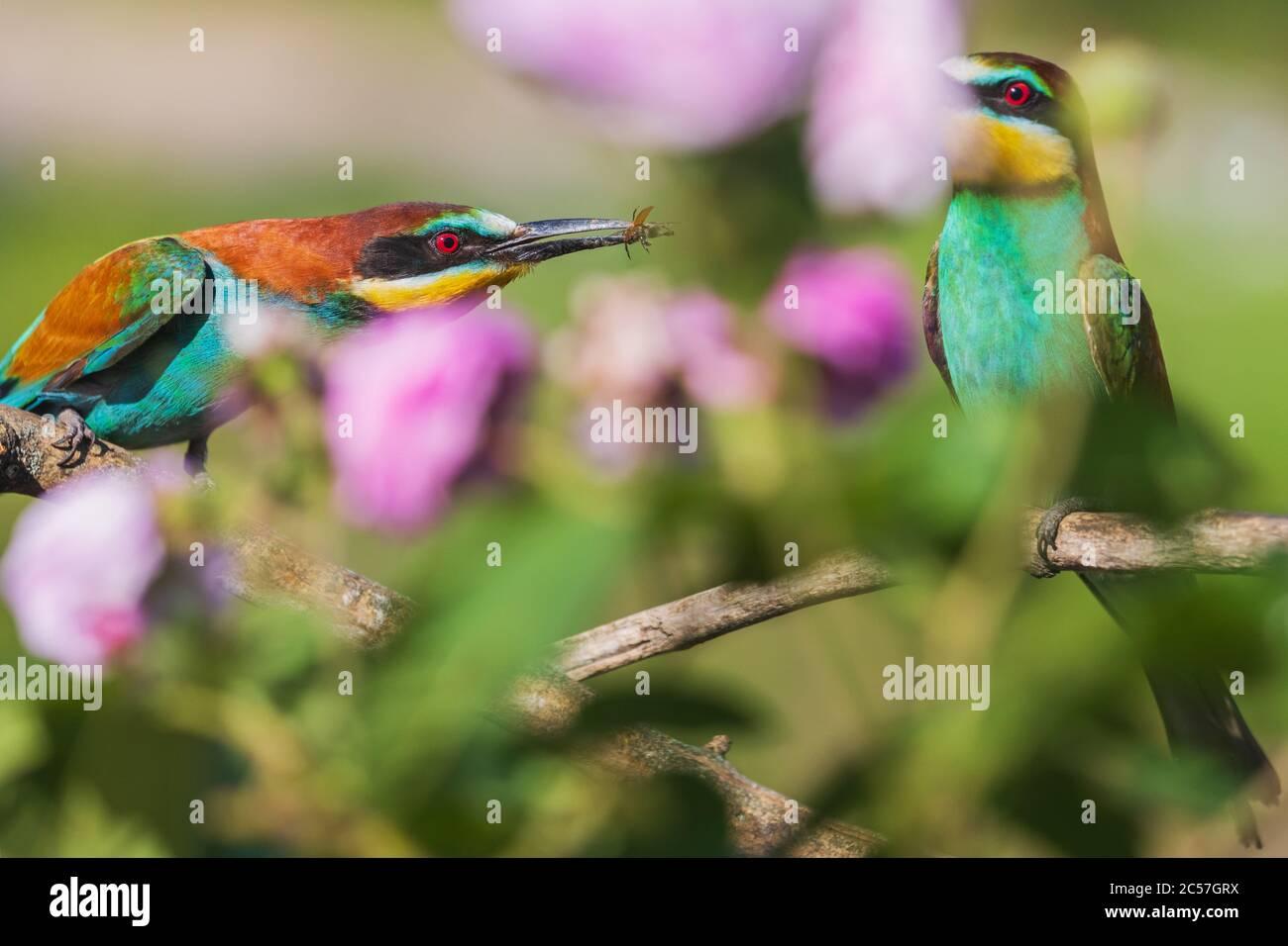 cortejo de aves del paraíso entre hermosas flores Foto de stock