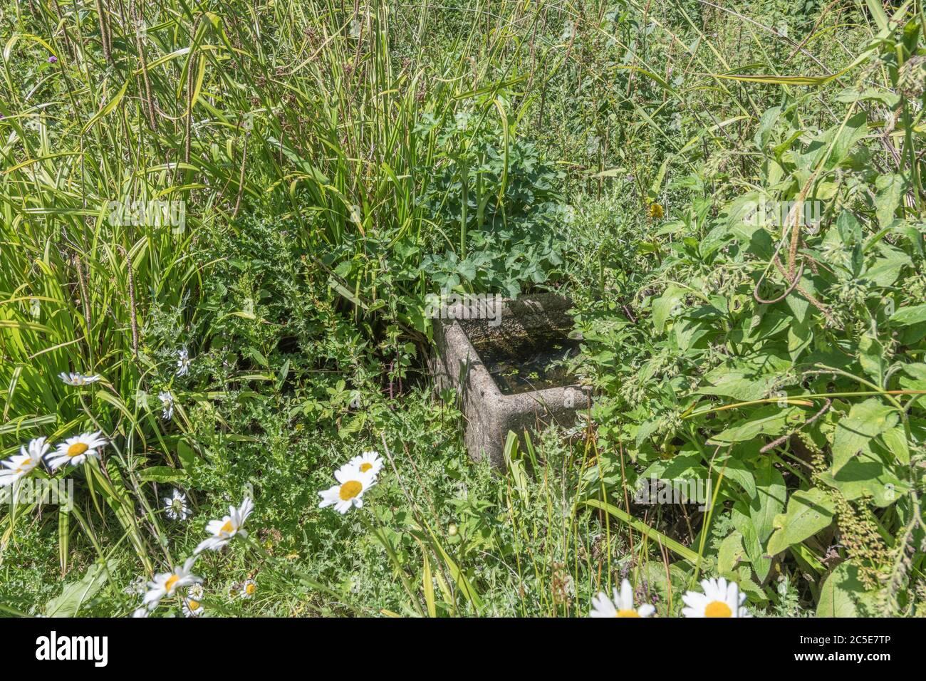 El agua de la granja vieja canaleta abandonada y sobre crecido por las malas hierbas en un corne de tierra de la granja de la basura. Metáfora maleza, fuera de control, negligencia, abrumado. Foto de stock