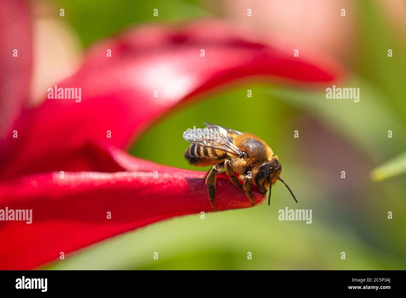 primer plano de la abeja trabajadora (apis mellifera) sentado bajo la luz del sol en un pétalo de lirio rojo florece Foto de stock