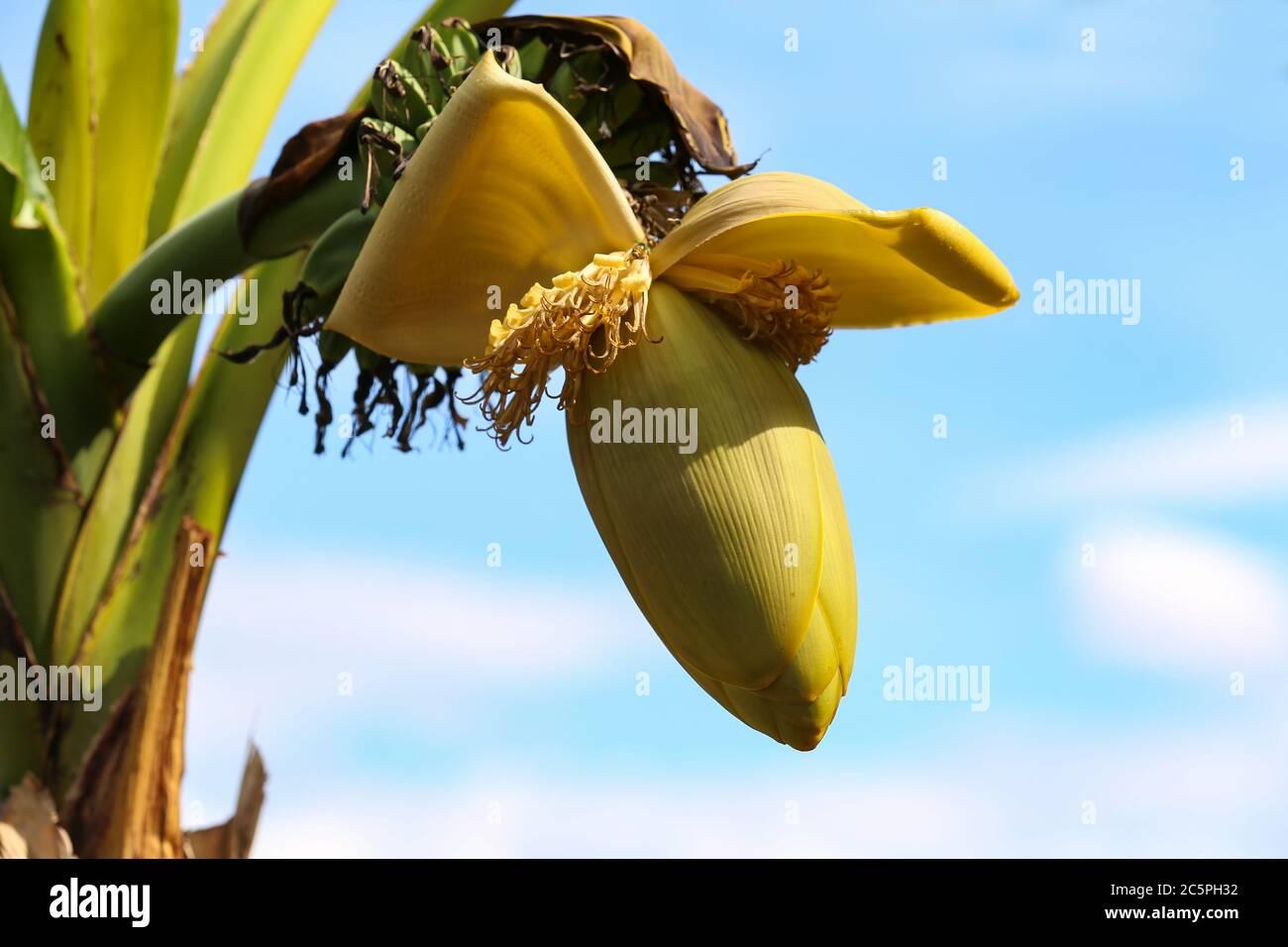 Plátano de flores y plátano joven en el árbol Foto de stock