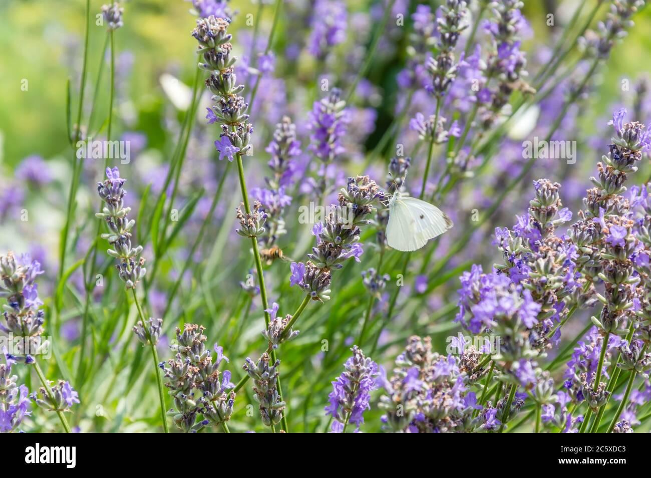 Mariposa de col blanca chupar néctar de flor de lavanda púrpura en verano. Hierba verde borrosa en el fondo Foto de stock
