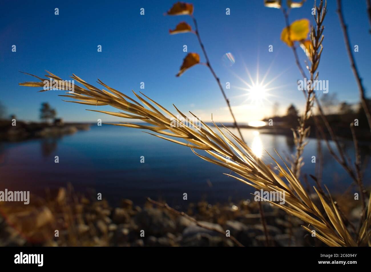 Primer plano de una cabeza de semilla de pasto dorado frente a una bahía cristalina del océano en un día brillante en otoño. Foto de stock
