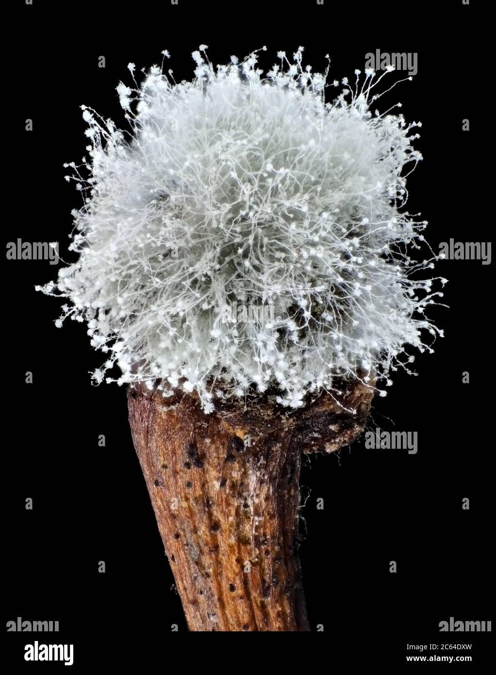 Moho en la parte superior del tallo de cerezo bajo el microscopio Foto de stock