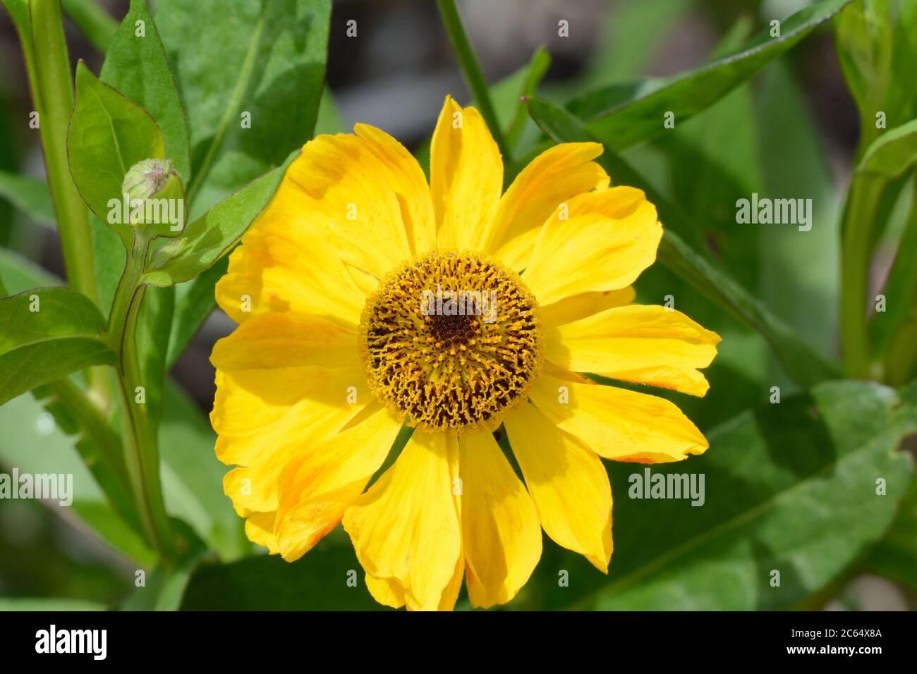 Helenium el Dorado sneezeweed flores amarillas brillantes con el cono oscuro grande néctar y flores ricas en polen Foto de stock