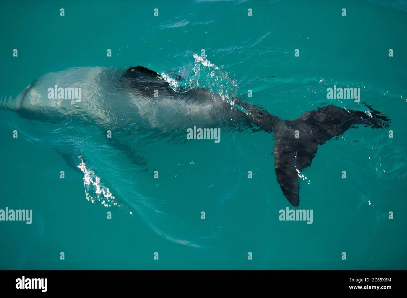 El delfín de Héctor (Cephalorhynchus hectori) es el único cetáceo endémico de Nueva Zelanda, Kaikoura South Island de Nueva Zelanda Foto de stock
