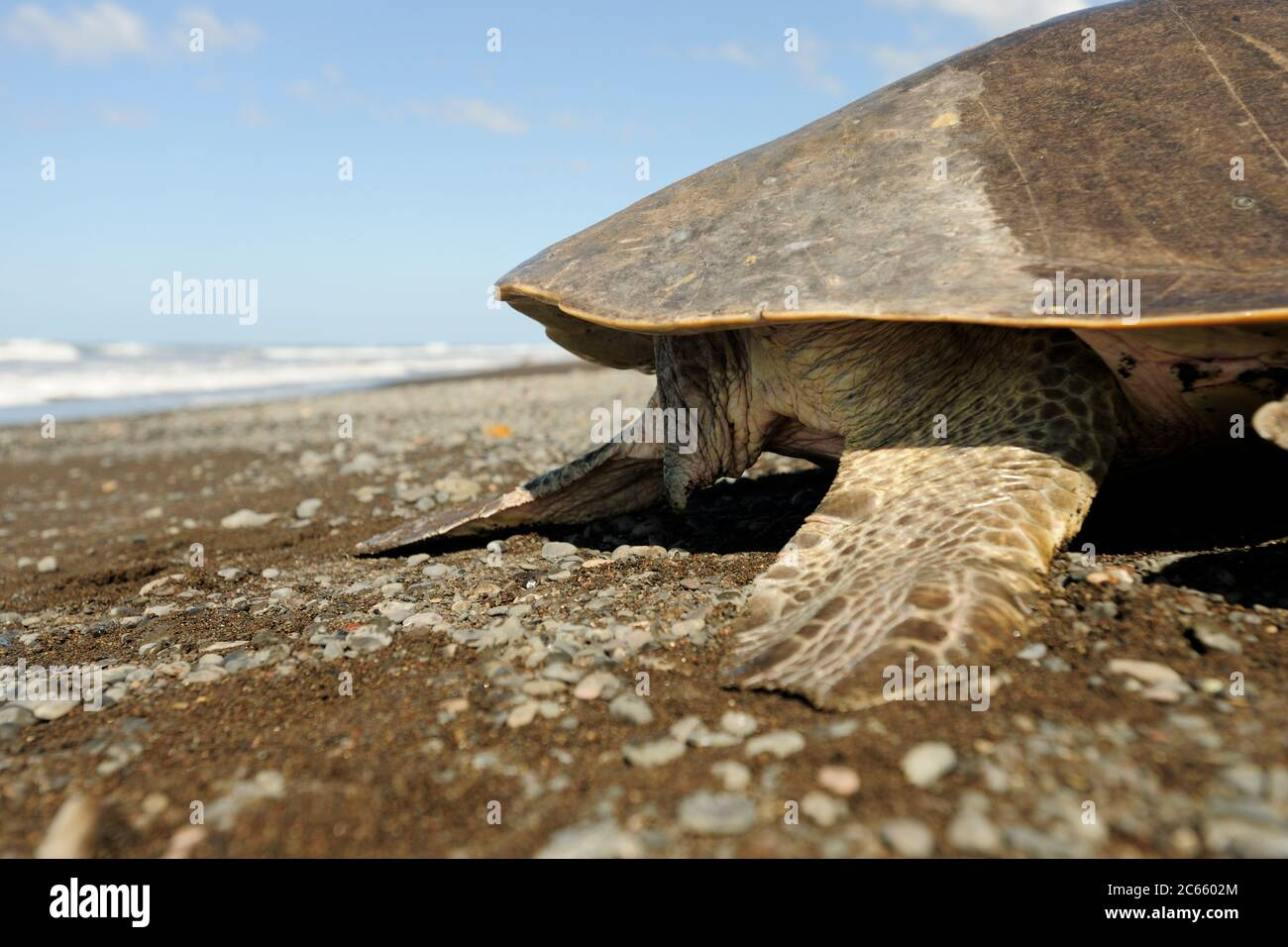 Mirando a una tortuga marina madura como esta ridley de oliva (Lepidochelys olivacea) se puede decir fácilmente el género: Una hembra tiene una cola corta, como se ve aquí, mientras que un macho tiene una cola larga y muscular que sobresale claramente por el borde del caparazón. Foto de stock