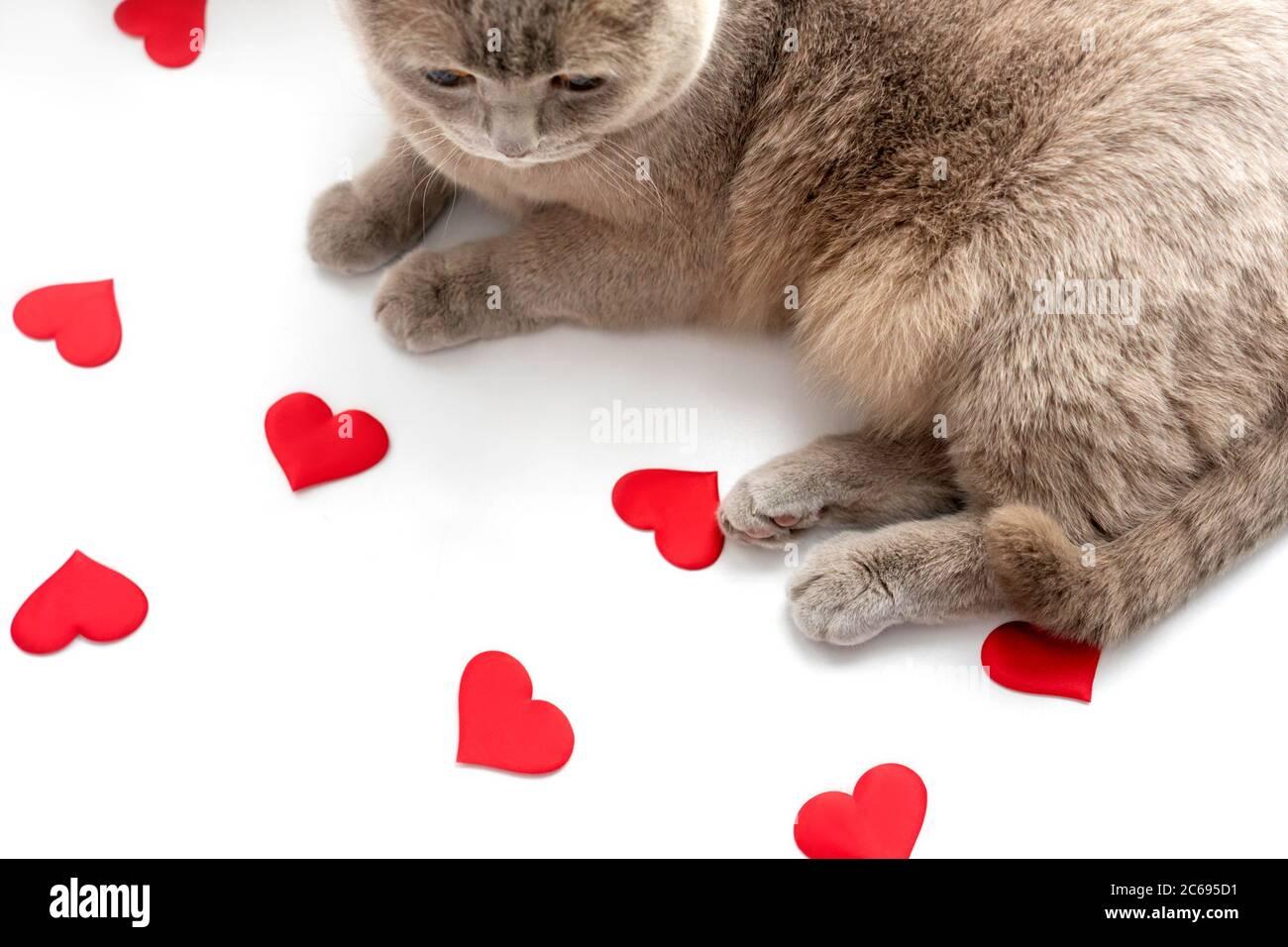 El gato lila británico mira los corazones rojos sobre fondo claro. El concepto del día de San Valentín. Foto de stock