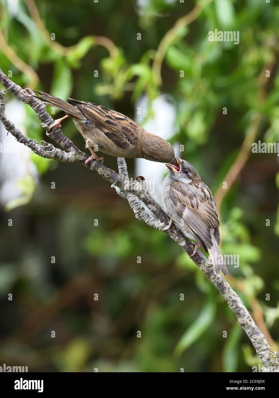 Una hembra de la casa Sparrow (Passer domesticus) alimentando a un inmaduro, bebé, que se está fugando en un jardín doméstico en Escocia, Reino Unido, Europa Foto de stock