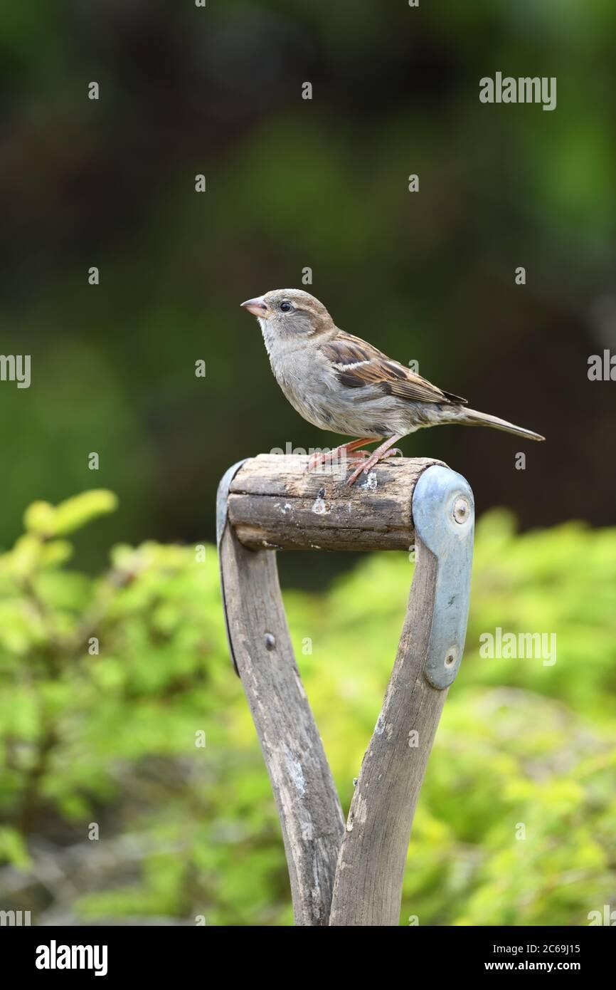 Una hembra de la casa Sparrow (Passer domesticus) sentado en el mango de madera de la horticultura en Escocia, Reino Unido, Europa Foto de stock