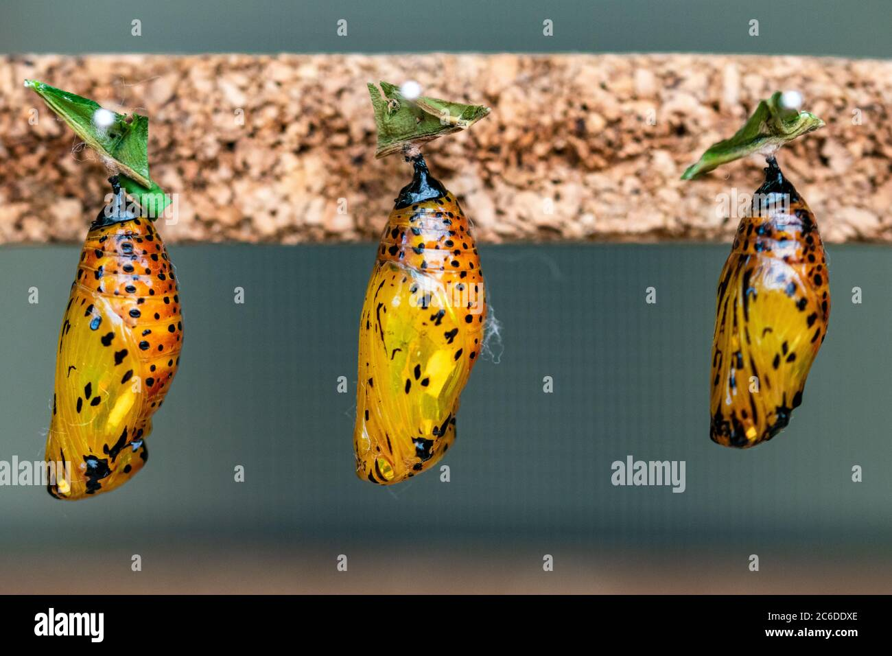 una imagen de cerca de tres mariposas´s todavía en su amarillo formas crisálida cambiando de oruga Foto de stock