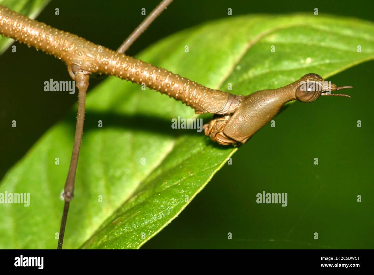 Insecto de Palo Tropical, Selva, Cuenca del Río Napo, Amazonia, Ecuador, América Foto de stock