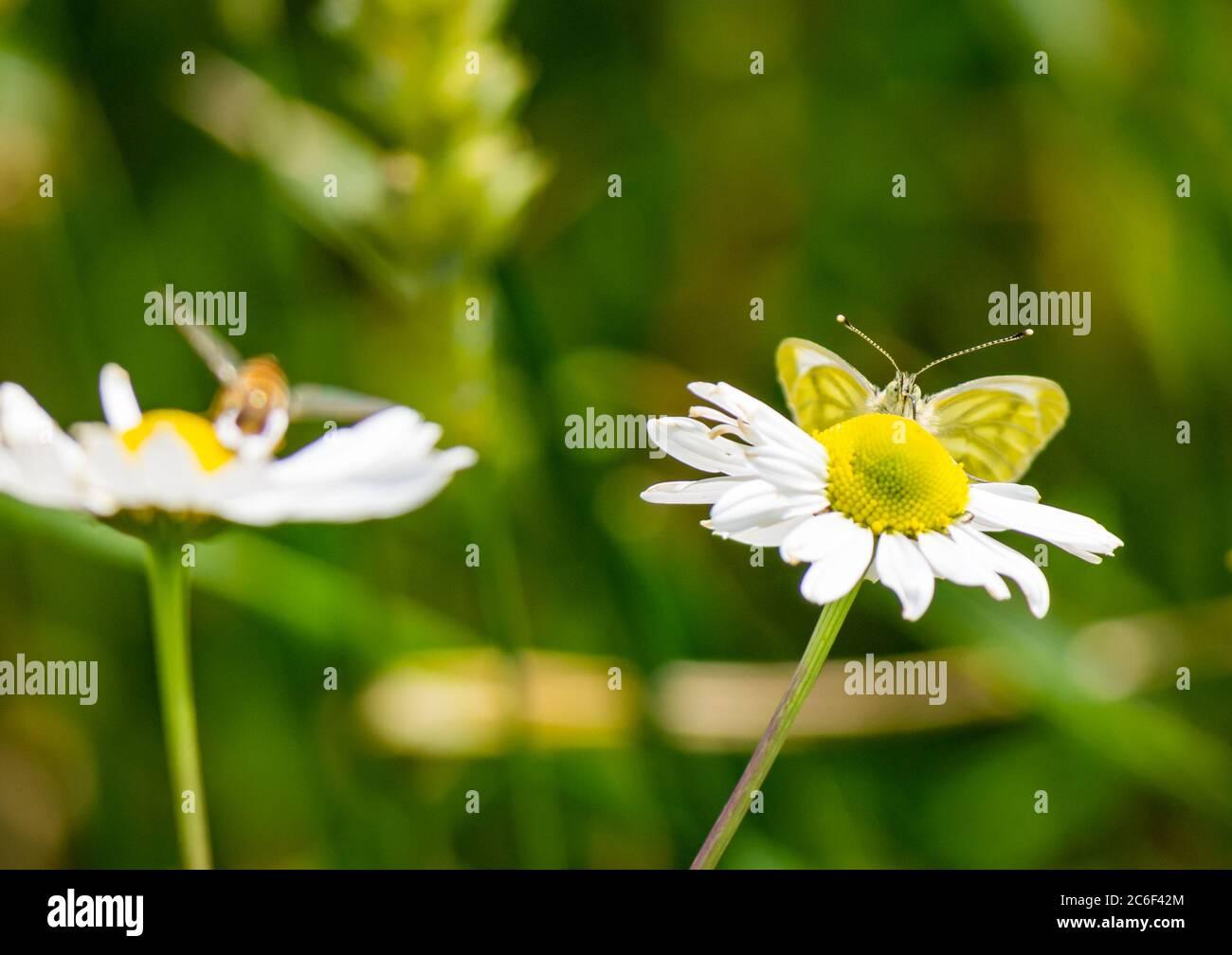 East Lothian, Escocia, Reino Unido, 9 de julio de 2020. Reino Unido tiempo: Sol en la vida silvestre: Una mariposa verde con velo (Pieris napi) chupar néctar de una mayweed o flor de camomila de maíz (Anthemis arvensis) Foto de stock