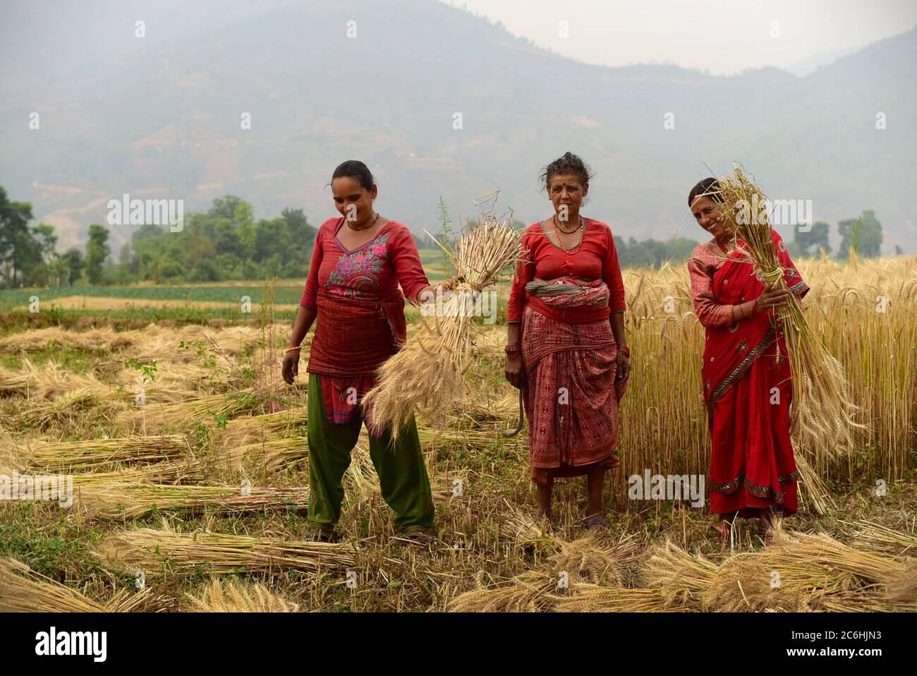 Mujeres agricultoras que cosechan trigo en un campo agrícola del distrito de Kavrepalanchok, Nepal. Foto de stock