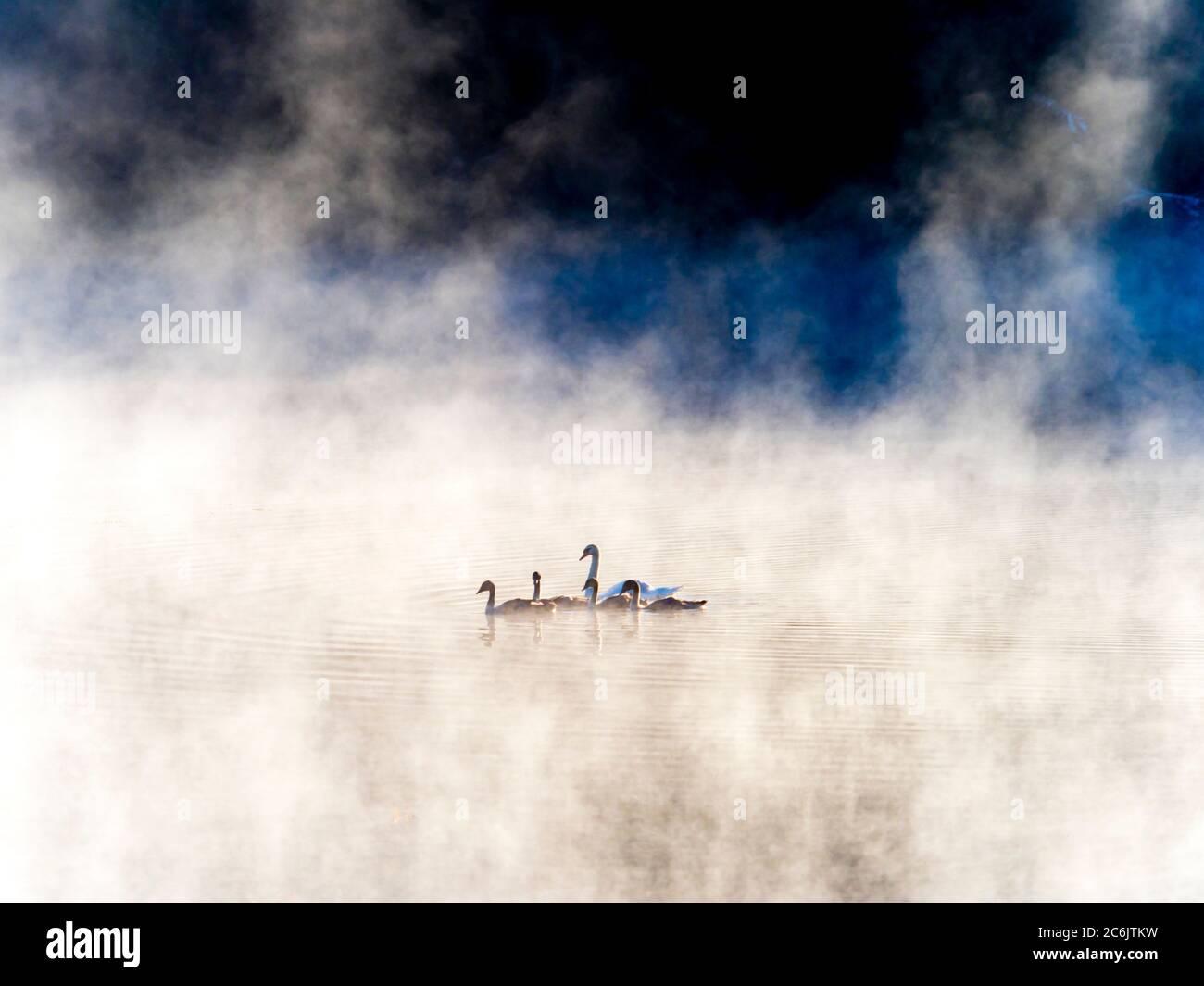 La familia cisne al amanecer en el lago Mrzla vodica en Croacia Europa Foto de stock