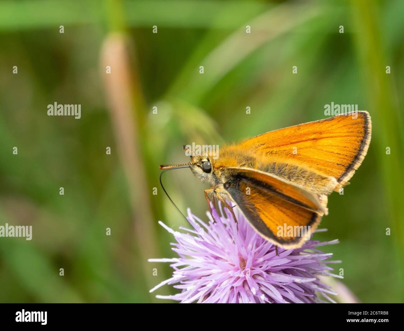 Hembra adulto pequeño patrón de la mariposa alimentándose en cardo que se derrita, Cirsium arvense, en el Reino Unido pradera Foto de stock