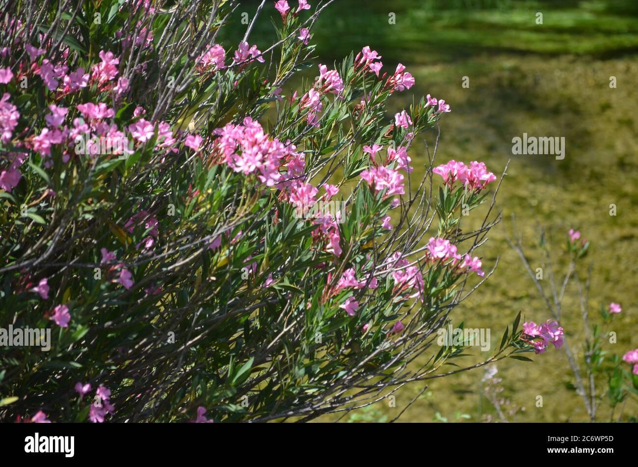 Nerium (Nerium oleander) a orillas del río Palancia, un río de montaña mediterráneo en la región de Valencia, al este de España Foto de stock