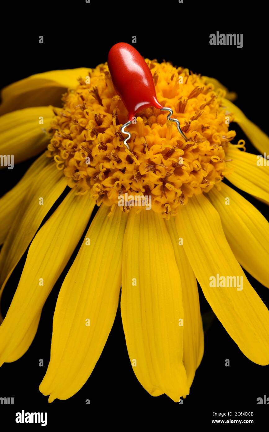 Robot de insecto rojo sobre flor amarilla de marguerite Foto de stock