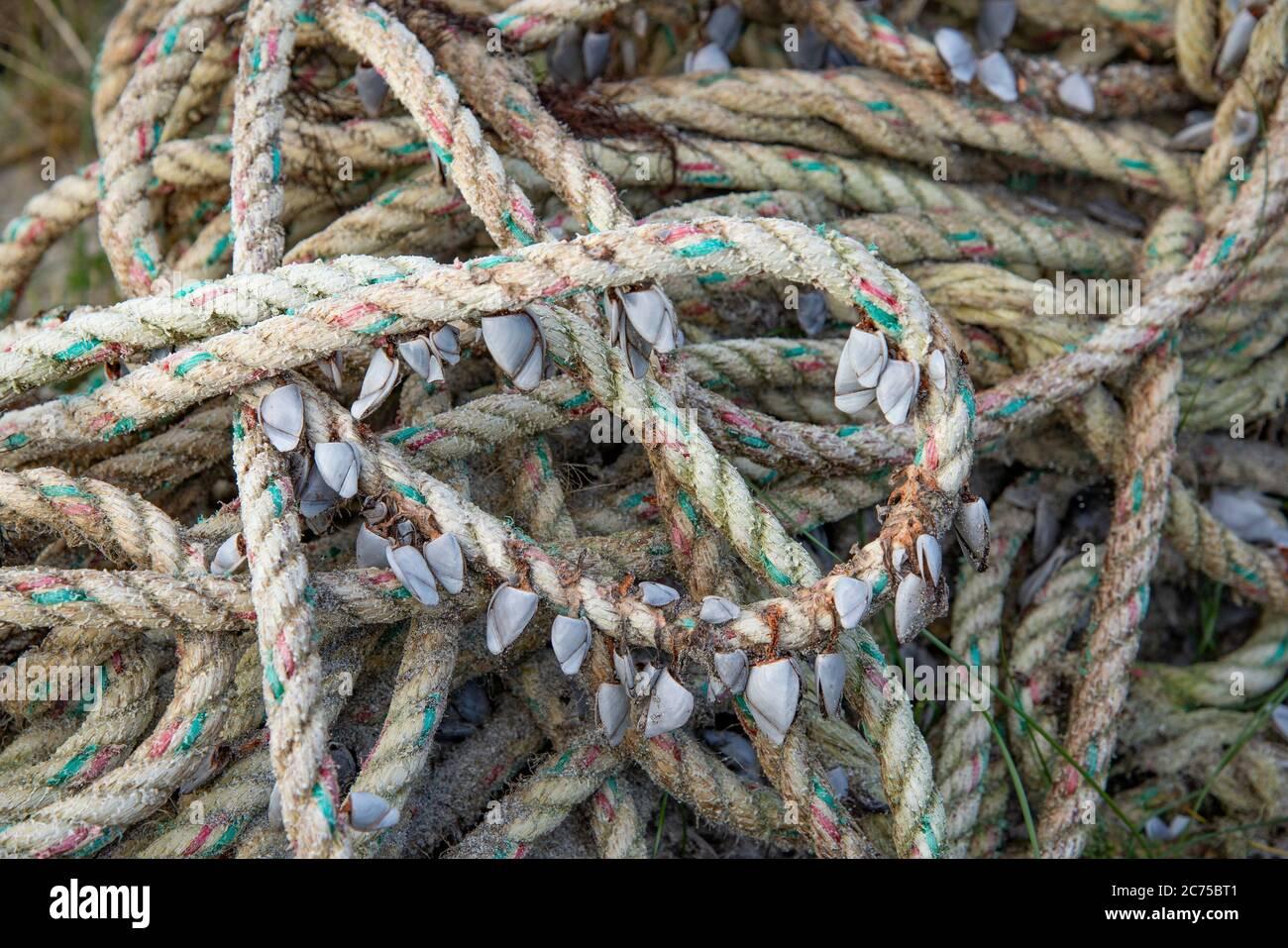 Percebes de ganso sobre una cuerda, Calgary Bay, Calgary, Isle of Mull, Argyll y Bute, Escocia, Reino Unido. Foto de stock