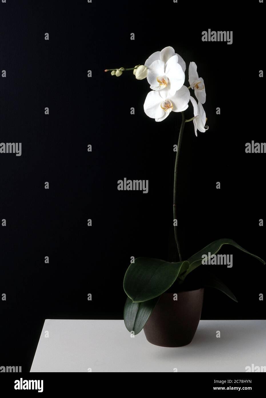 Las Orchidaceae son una familia diversa y extendida de plantas con flores, con flores que a menudo son coloridas y fragantes Foto de stock