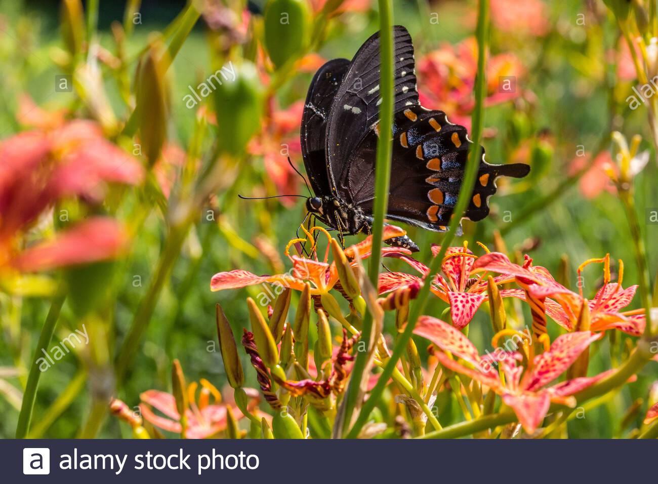picea de la cola de cisne (papilio troilus) en el lirio de la blackberry (iris domestica) Foto de stock