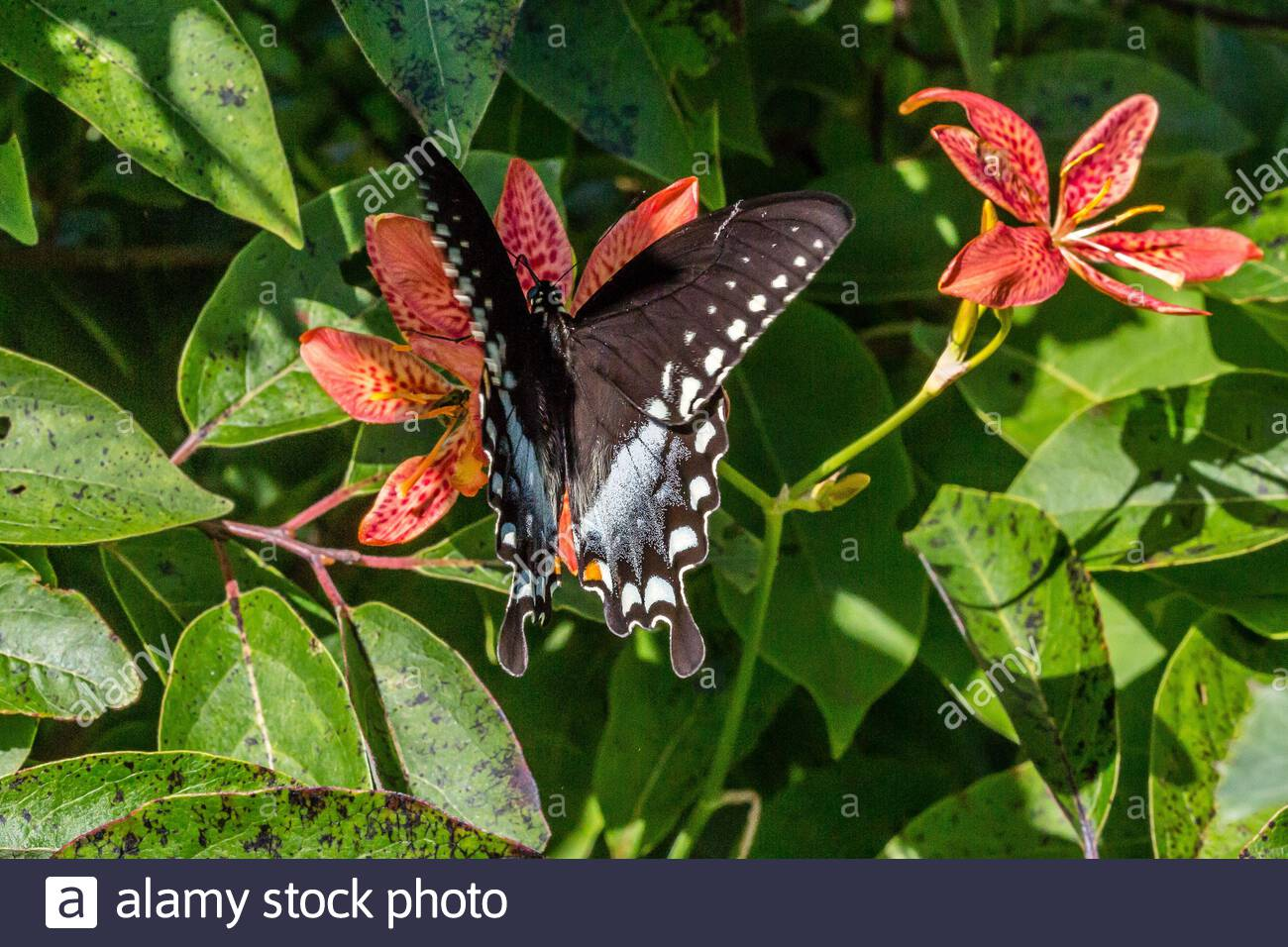mariposa de pico de pico (papilio troilus) Foto de stock