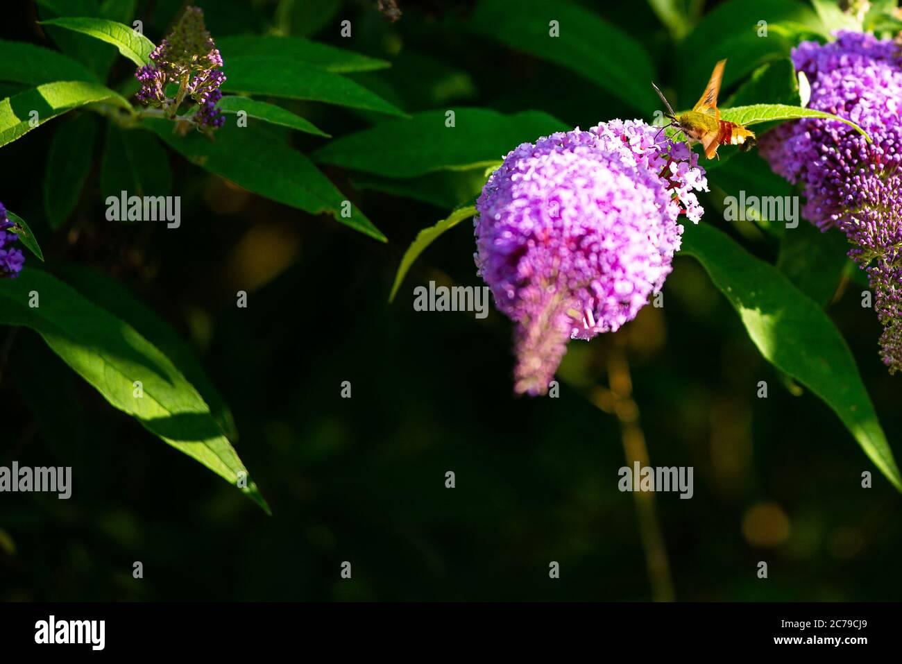 Una abeja de borde ancho halcón-polilla bebe néctar de una flor en un jardín Foto de stock