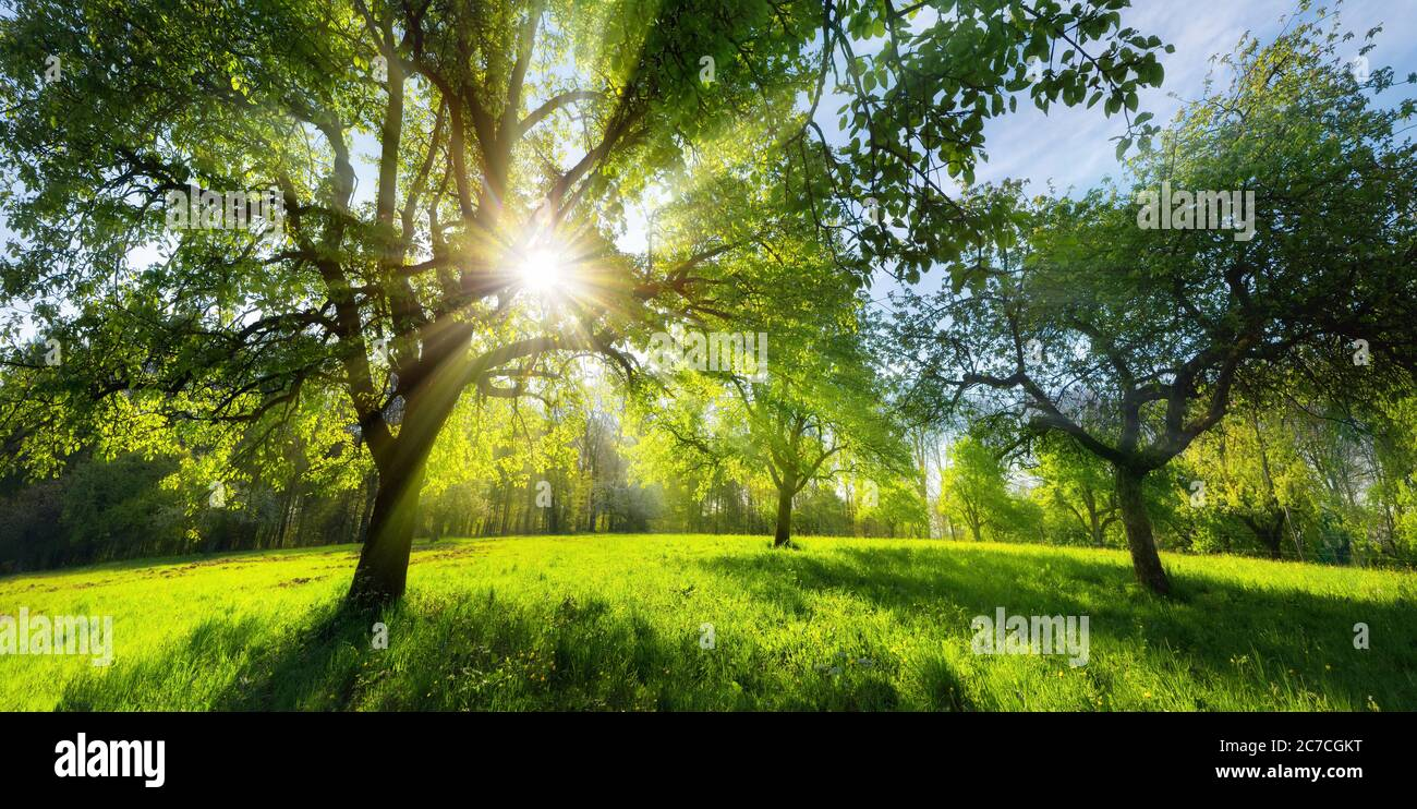 Hermoso paisaje rural verde en primavera o verano, con árboles en un prado y el sol brillante brillando a través del follaje Foto de stock