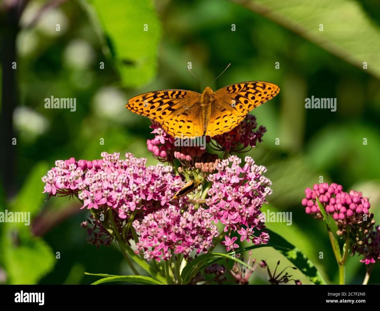 Gran mariposa de frutillary spangled, Speyeria cybele, en la hierba de pantano de una pradera nativa en Ohio, EE.UU Foto de stock