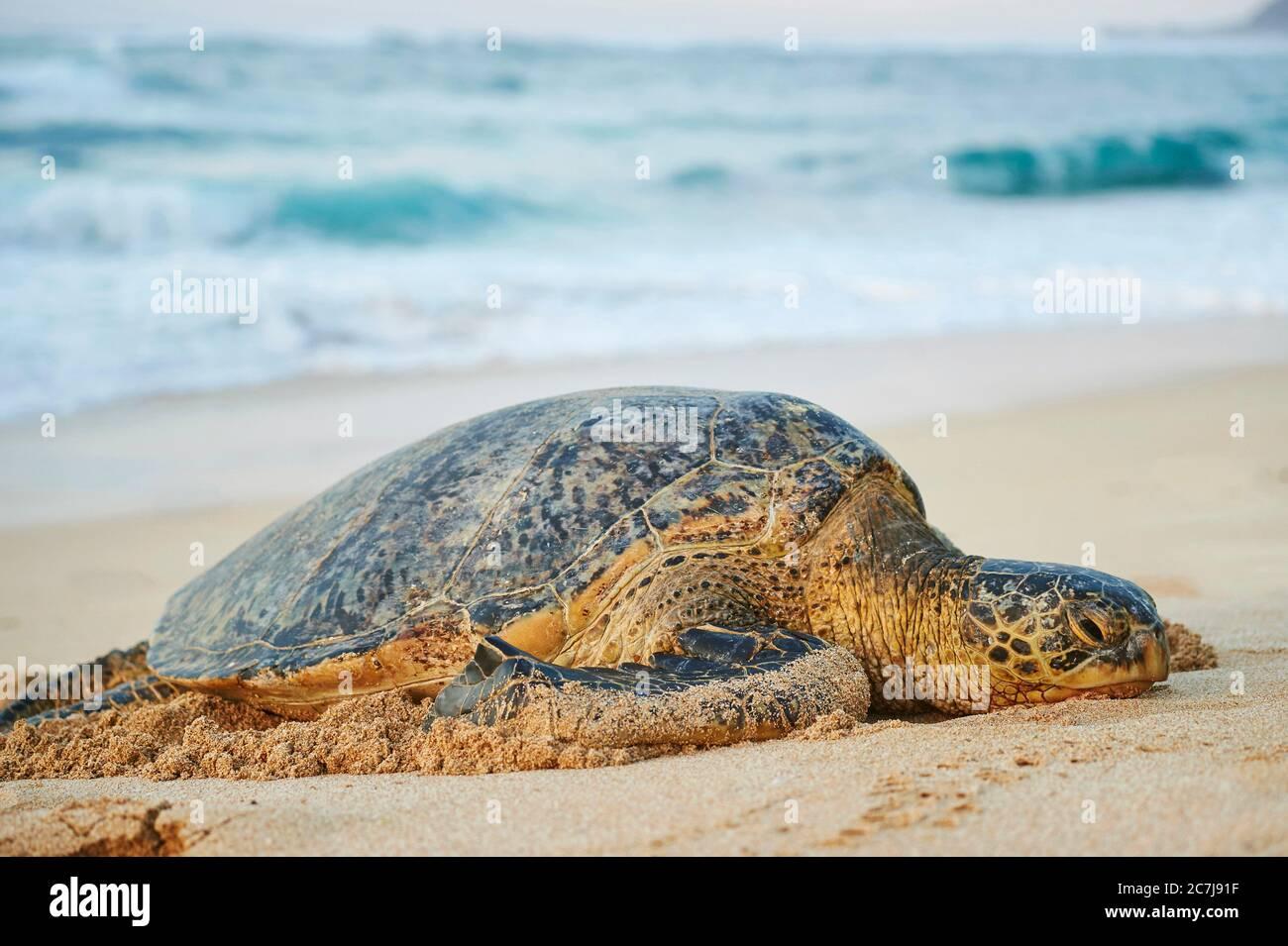 Tortuga verde, tortuga de roca, tortuga de carne (Chelonia mydas), tumbado en la playa, Estados Unidos, Hawaii, Oahu, Laniakea Beach Foto de stock