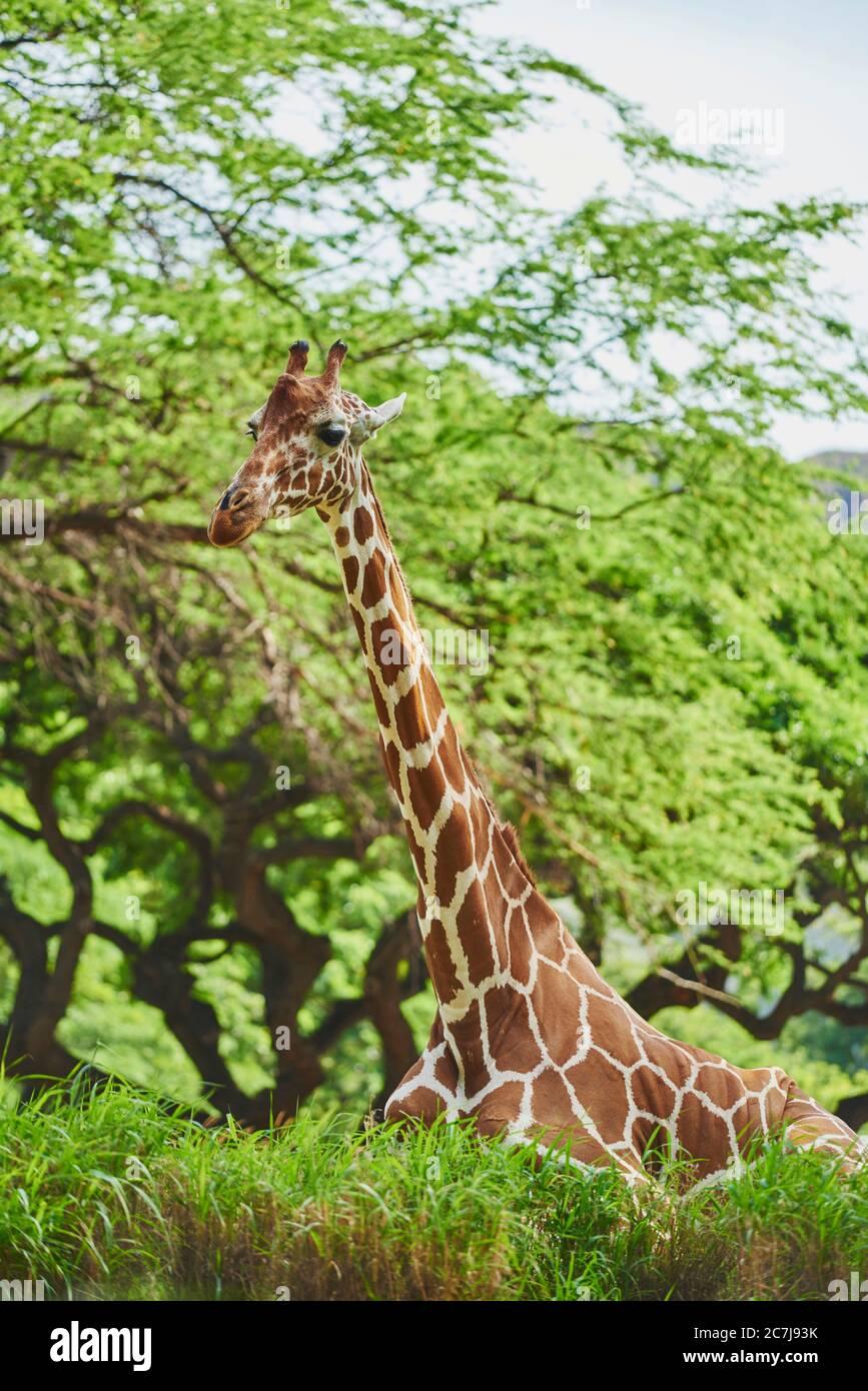 Jirafa reticulada (Giraffa camelopardalis reticulata), descansando en el suelo en la sabana, retrato de media longitud, África Foto de stock