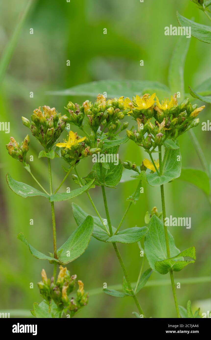 Spotted San Juan-hierba, Hypericum punctatum Foto de stock