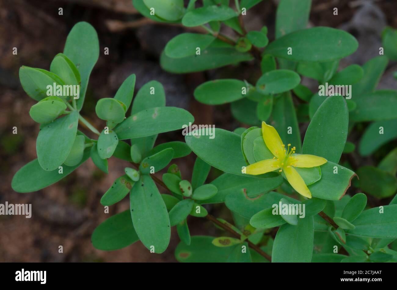 Cruz de San Andrés, Hypericum hypericoides Foto de stock