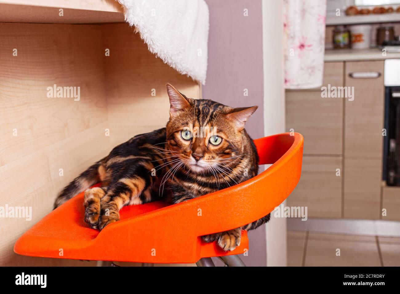 Un Hermoso Gato De Bengala Se Encuentra En Un Taburete De Bar Naranja En El Fondo De La Cocina El Gato Mira La Cámara Con Ojos Verdes Un Gato Tigre Leopardo Fotografía