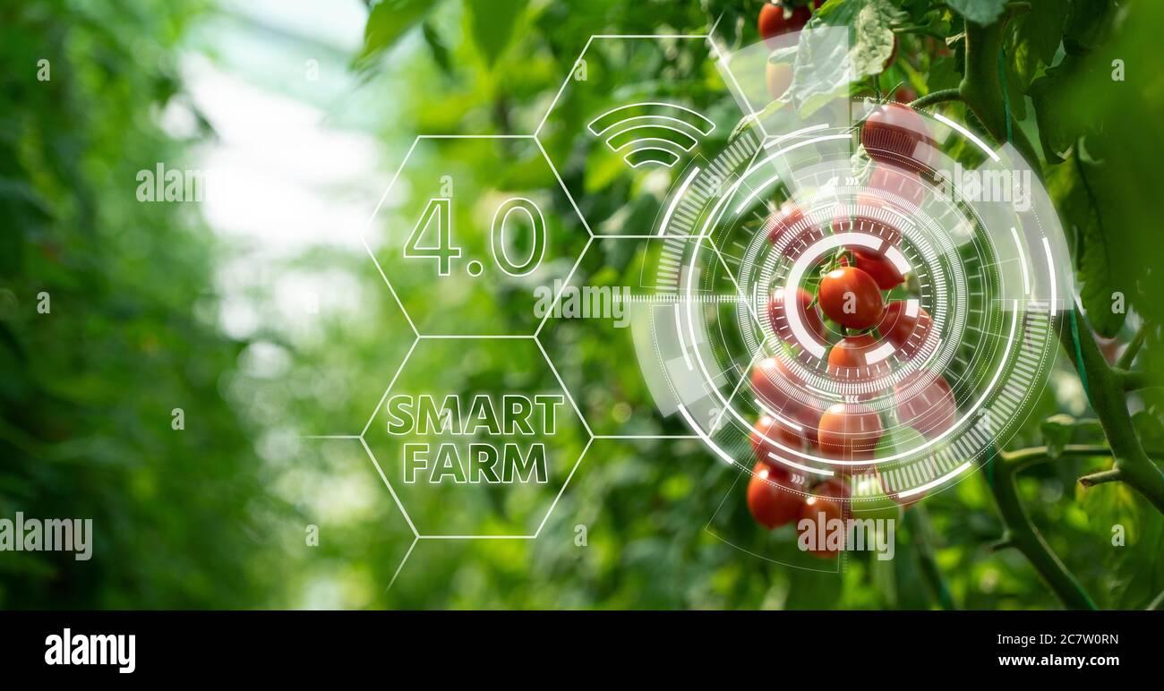 Tomates en invernadero con infografía. Agricultura inteligente y agricultura de precisión 4.0 Foto de stock
