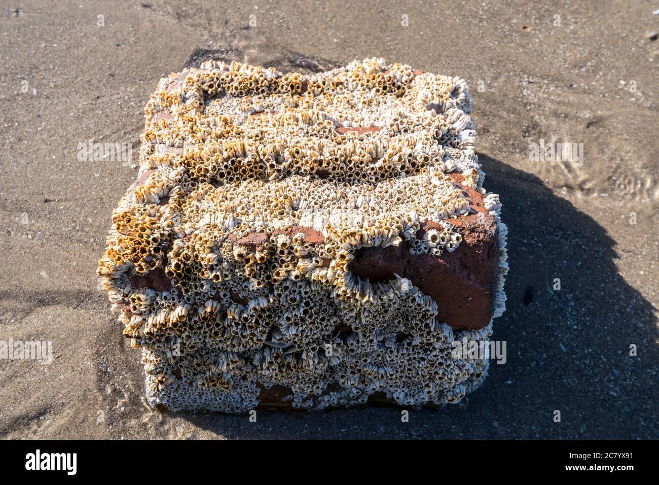 Acorn Barnacles Semi balanus balanoides o Chthamalus stellatus sobre el viejo ladrillo rojo descartado Foto de stock