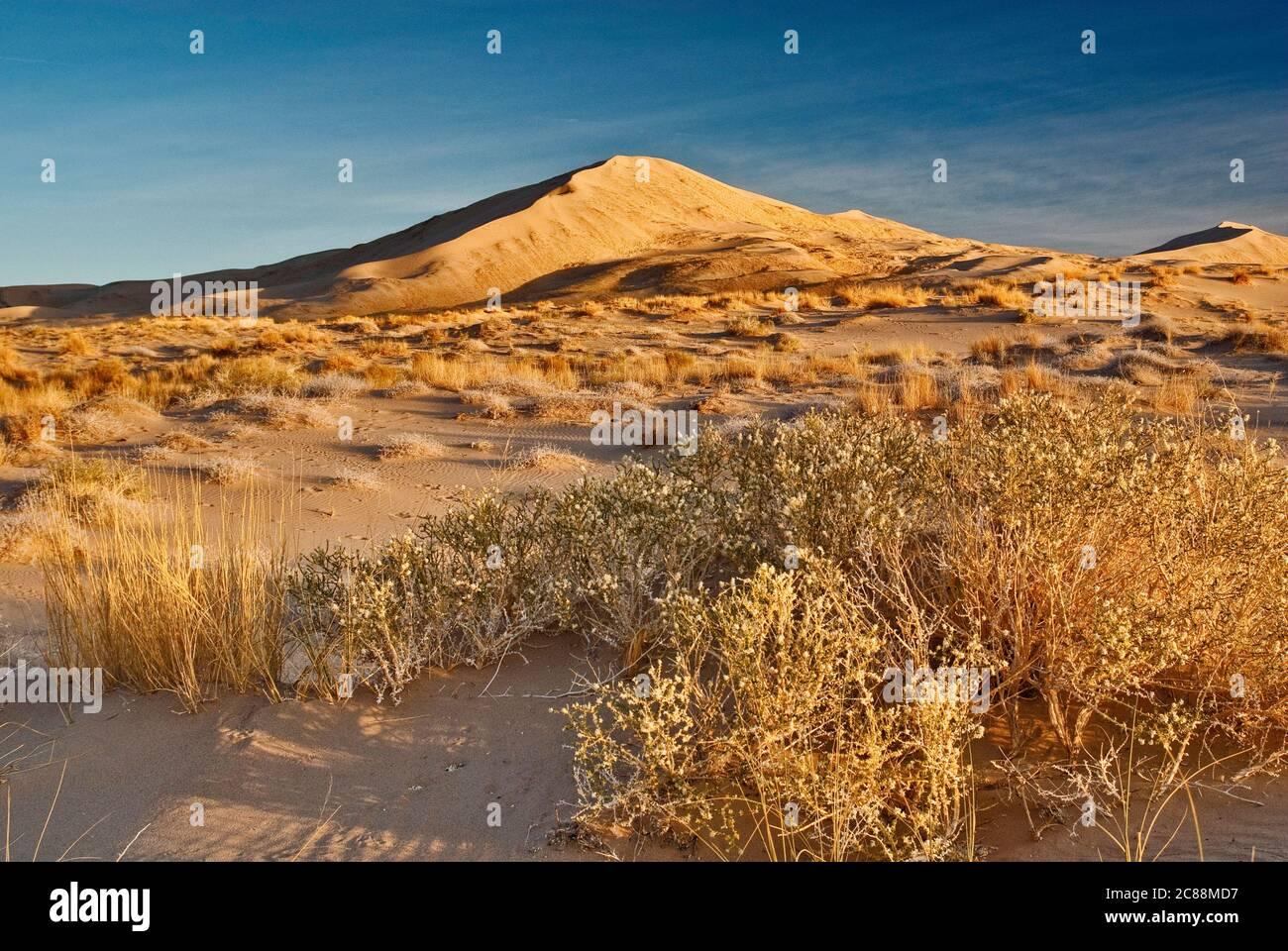 Apache Plume (Fallugia paradojas) arbusto, Kelso Dunes al amanecer, Mojave National Preserve, California, EE.UU Foto de stock