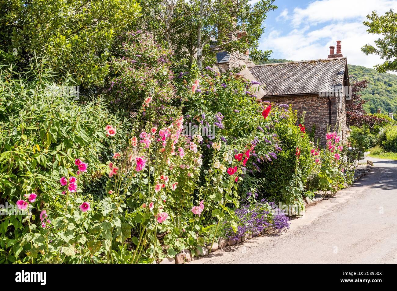 Hollyhocks floreciendo al lado de un carril en el Parque Nacional Exmoor en el pueblo de Bossington, Somerset, Reino Unido Foto de stock
