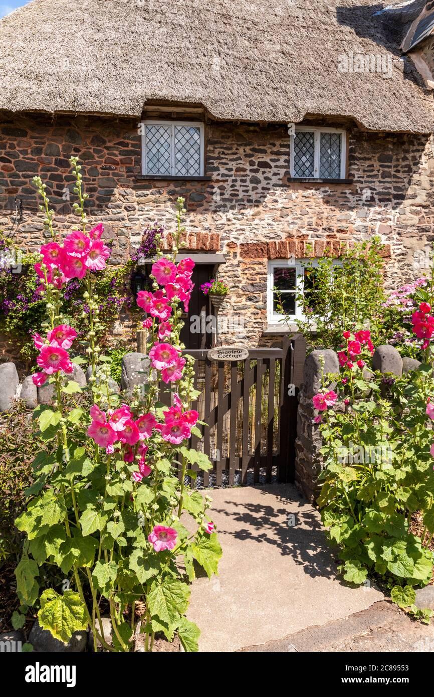 Hollyhocks floreciendo por la puerta de una tradicional casa de campo de paja en el Parque Nacional Exmoor en el pueblo de Bossington, Somerset Reino Unido Foto de stock