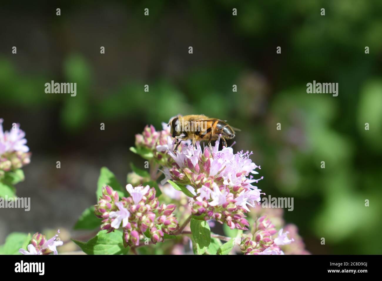abejas en flores de orégano Foto de stock