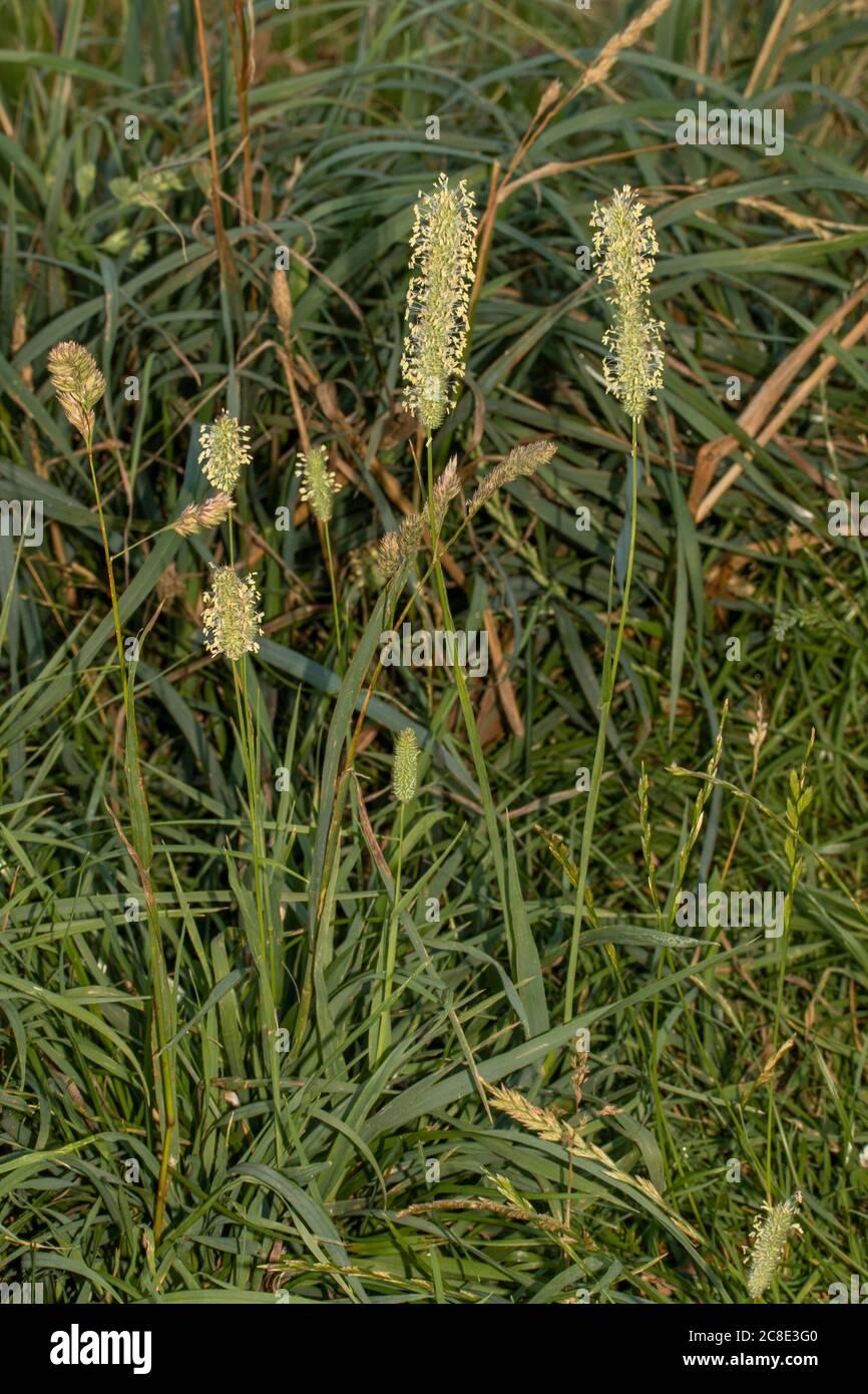Polen de hierba cerca de la representación natural (macro) Foto de stock