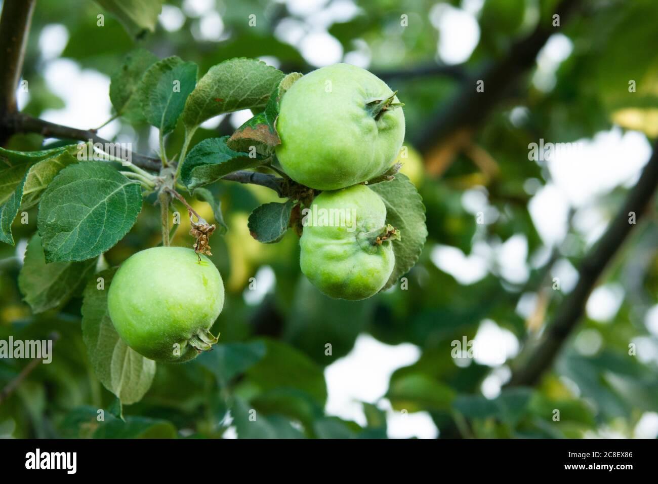 Las manzanas verdes feas están madurando en la rama. Enfermedades de Apple-árbol. Antracnosis y áfidos en las hojas. Nueva cosecha en el huerto Foto de stock
