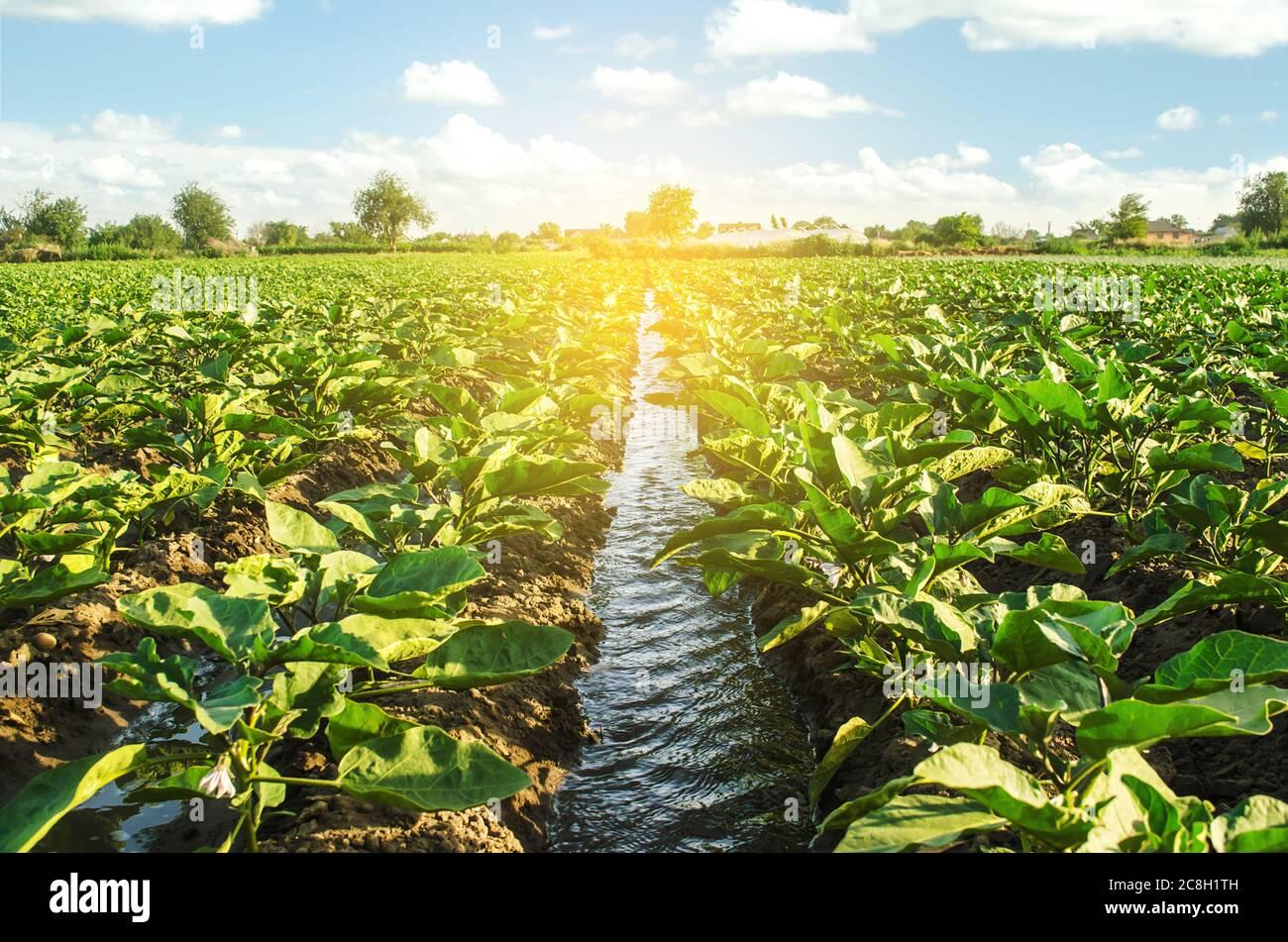 Un canal de agua de riego pasa a través de la plantación de berenjenas. Cuidar de las plantas, cultivar alimentos. Agricultura y agroindustria. Conservación del agua Foto de stock