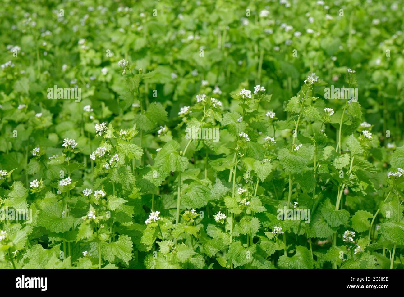 Mostaza de ajo / Ajo de borde / Jack por la cobertura (Alliaria petiolata) densa floración de grupa en el subpiso de los márgenes de bosque, Wiltshire, Reino Unido, abril. Foto de stock