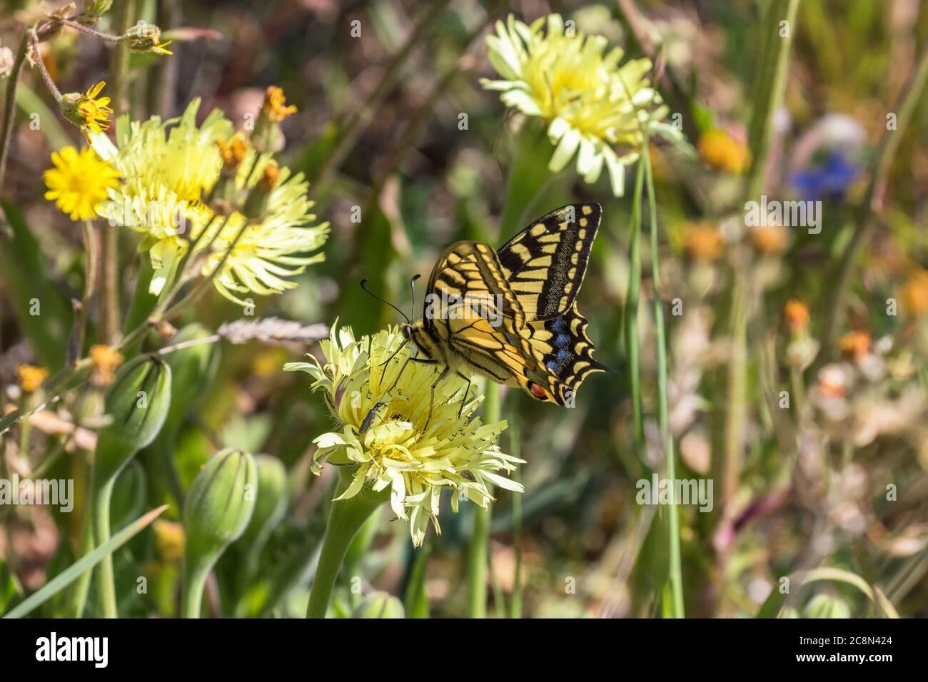 Swallowtail chupar néctar de una flor Foto de stock