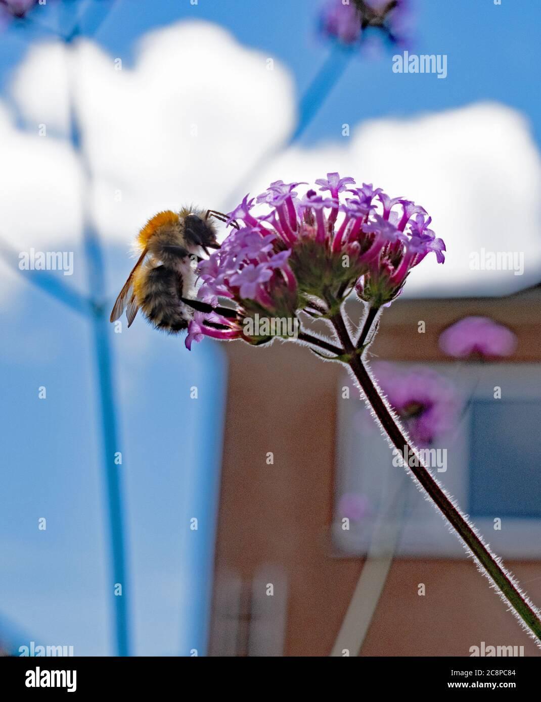 Abeja de miel en Verbena bonariensis Foto de stock