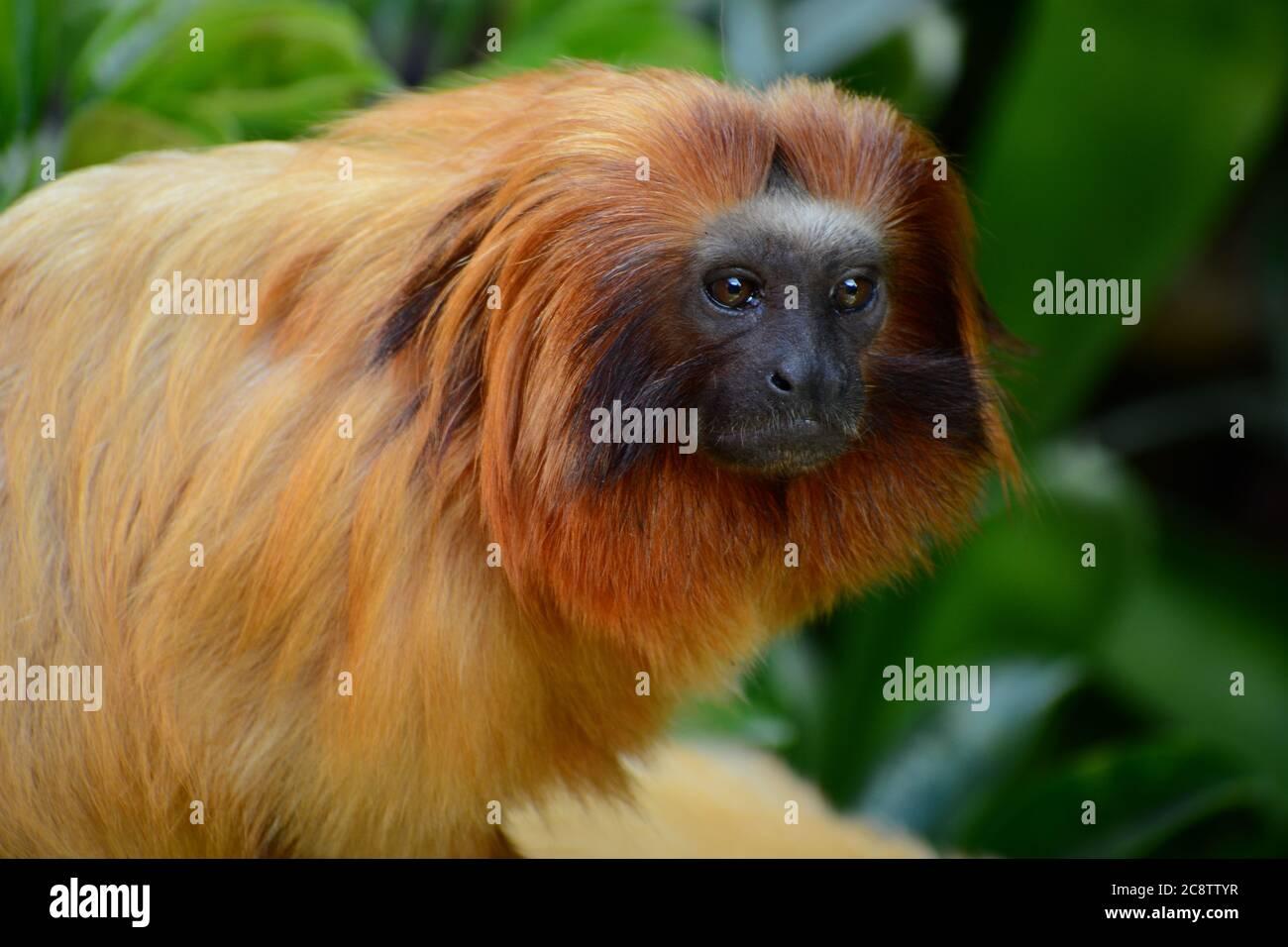 Retrato de un león dorado Tamarin (Leontopithecus rosalia). Uno de los animales más amenazados del mundo debido a su caza por cazadores furtivos Foto de stock