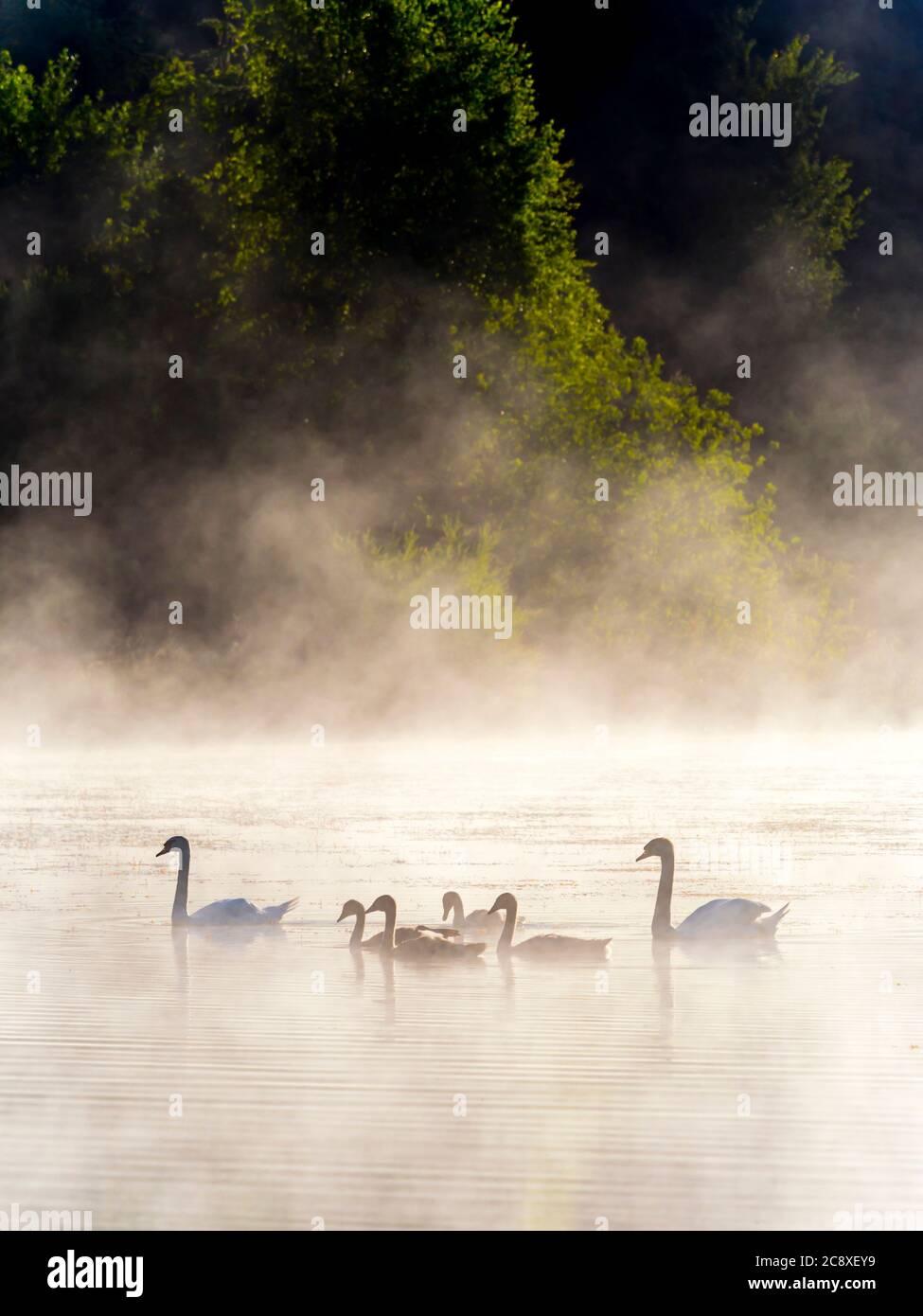 Cisne a la familia en la hora del amanecer en el lago Mrzla vodica Croacia Europa preciosa, impresionante y maravillosa Foto de stock