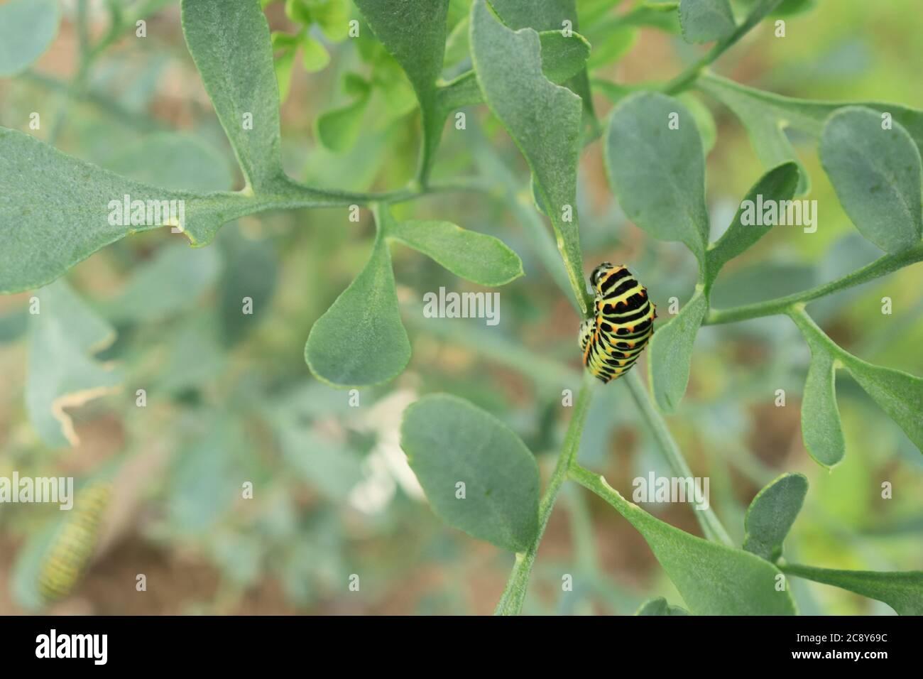 Caterpillar de swallowtail amarillo común / Viejo Mundo butterfly (Papilio machaon Papilio canadensis) en la planta de alimentación Foto de stock